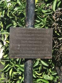 Plaque behind the surviving parent Navel tree in Riverside California